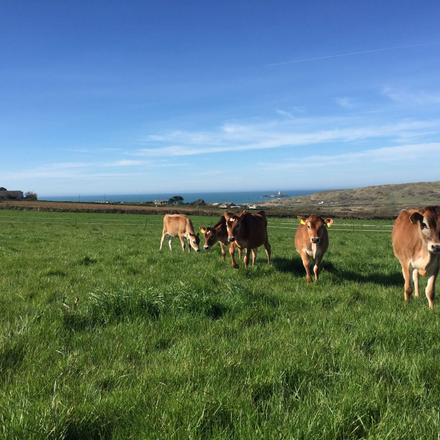 Jersey Cows at The Old Farmhouse Gwithian